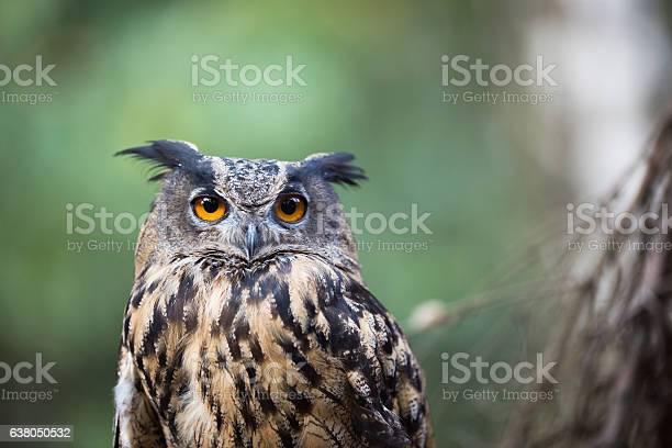 Eagle owl picture id638050532?b=1&k=6&m=638050532&s=612x612&h=hqtghvg3wpaubxjotlx8j3gol8qmtalpjvsbzbk06pi=