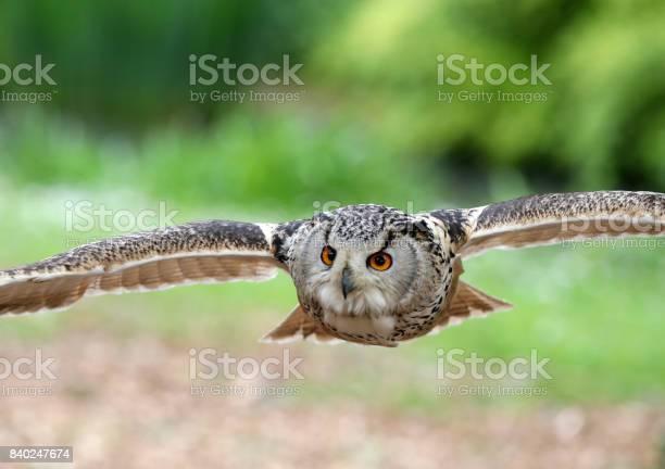 Eagle owl picture id840247674?b=1&k=6&m=840247674&s=612x612&h=ms1glp 8rxpm3l7dthn3c86skgwwi0a6s8bdicnn4fc=