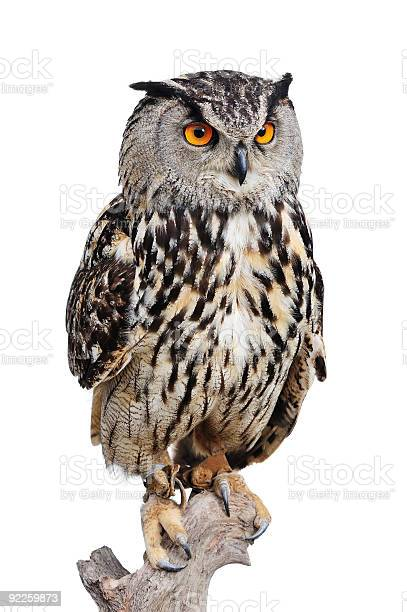 Eagle owl picture id92259873?b=1&k=6&m=92259873&s=612x612&h=icg4vjvsonmvlt5tsdufk5cn 3hhchejitwm8fuvb7u=