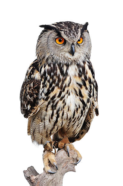 eagle owl - owl stock photos and pictures