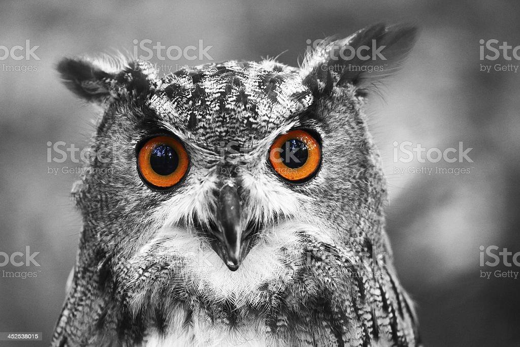 Eagle Owl Portrait stock photo