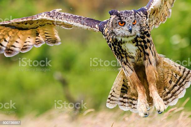 Eagle owl swooping low to hunt prey picture id500736557?b=1&k=6&m=500736557&s=612x612&h=m0amob13a2oao6y9webb8m2orywxf47tbevmmmkw30s=