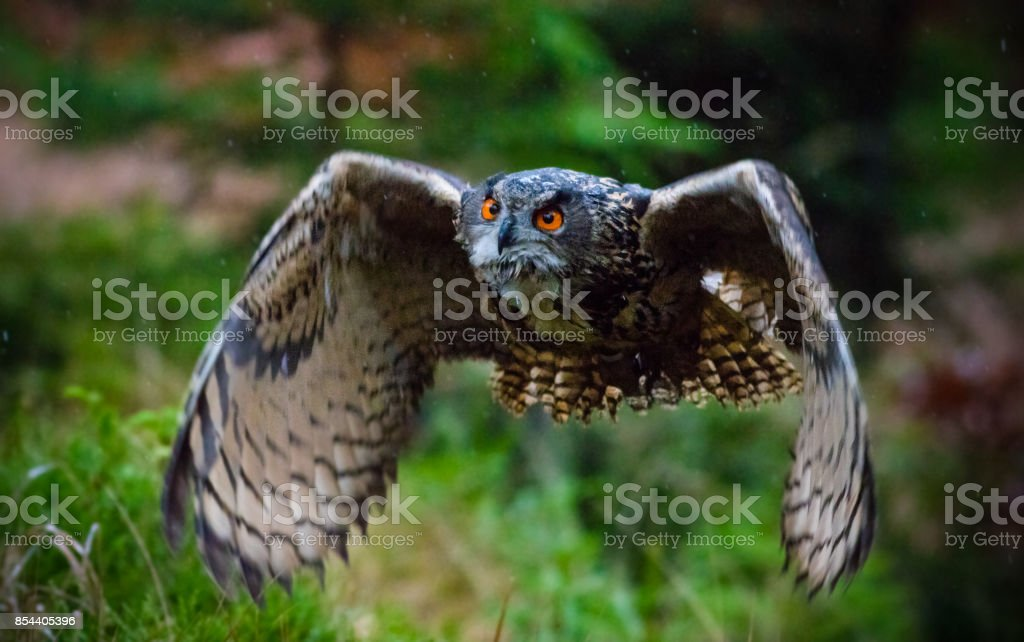 Eagle Owl swoops in low hunting stock photo