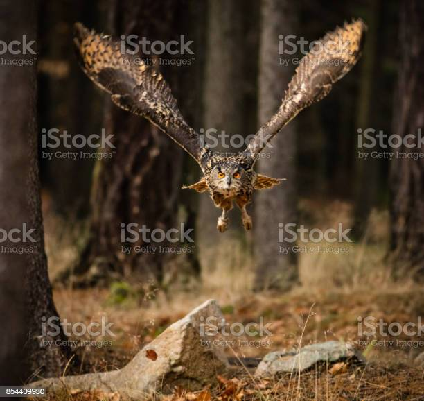 Eagle owl swoops in low hunting picture id854409930?b=1&k=6&m=854409930&s=612x612&h=c egqnhclabnmdgfthn81lg46k1eqcvid3cv34a9 e0=