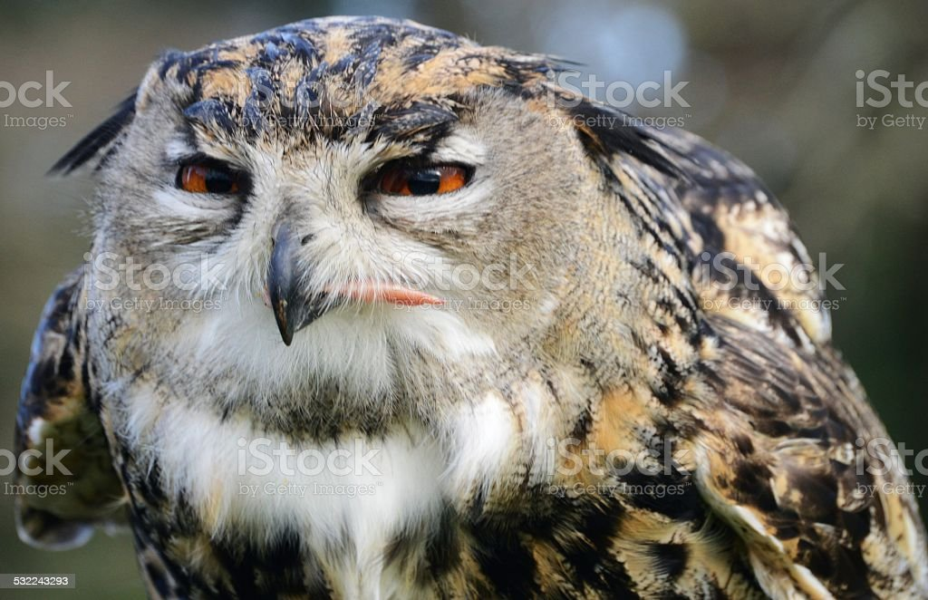 Eagle owl with funny facial expression stock photo