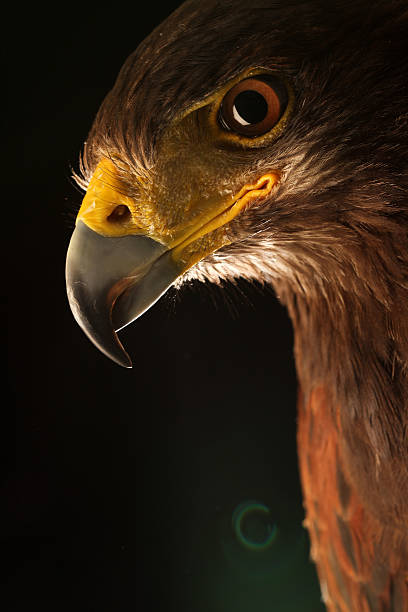 eagle photography in the studio. - falcon bird stock photos and pictures