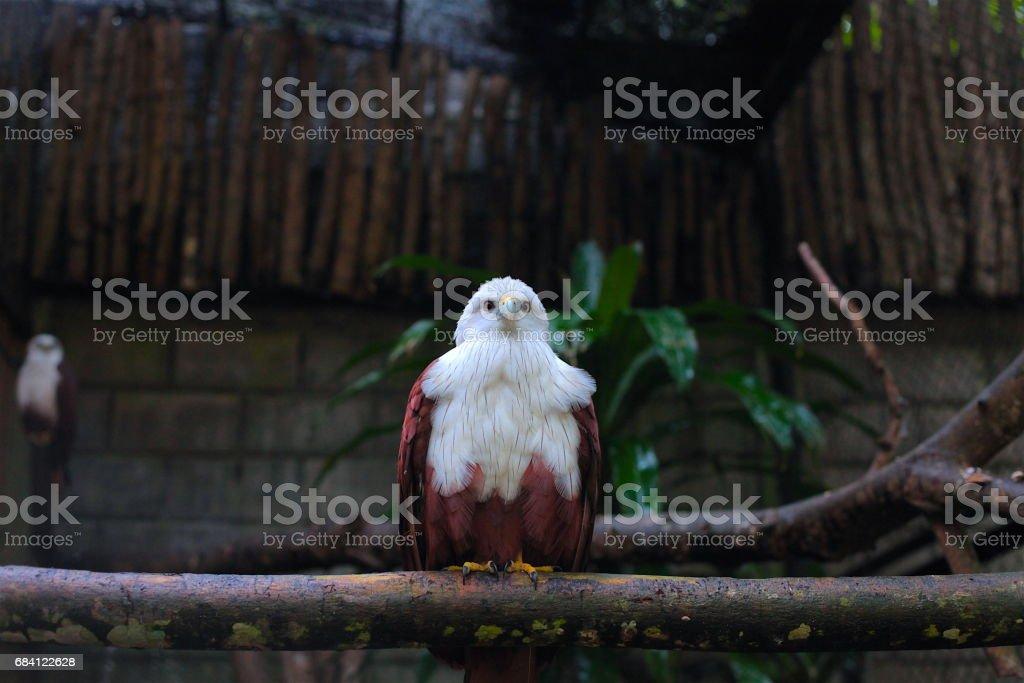 Eagle foto stock royalty-free