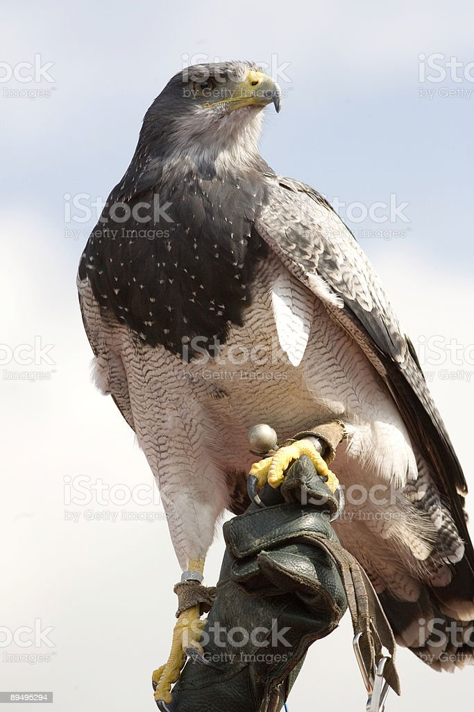 eagle royalty free stockfoto