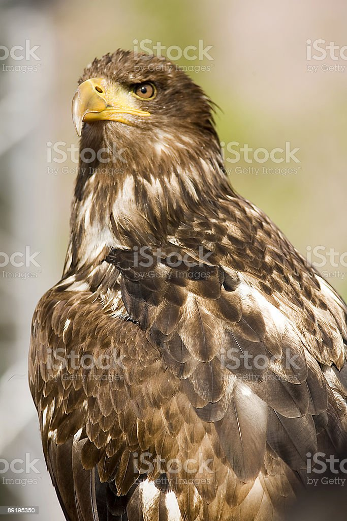 eagle foto stock royalty-free