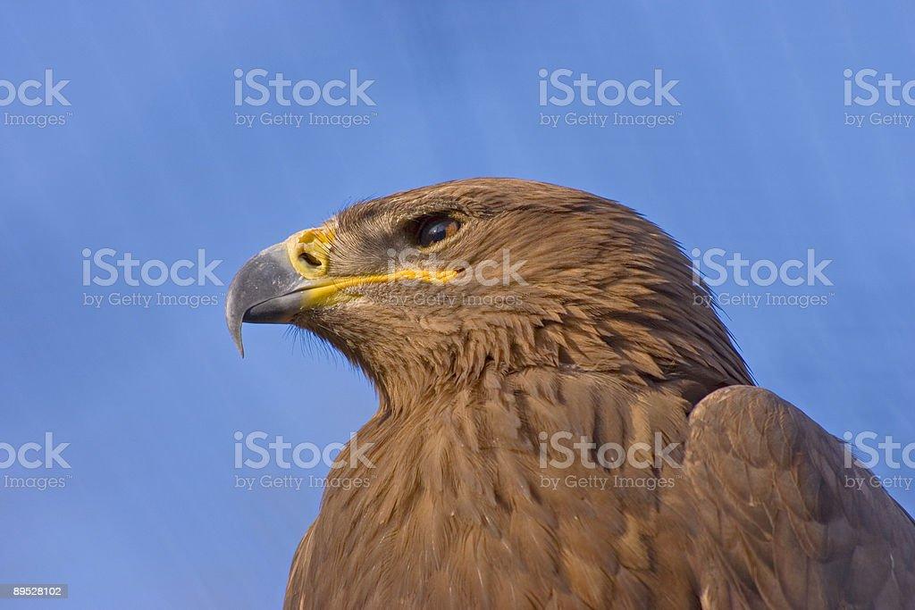 Eagle royalty-free stock photo