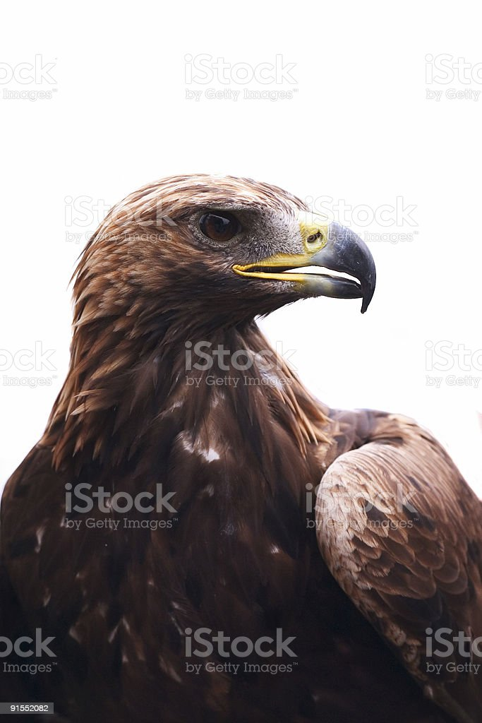 Eagle #2 royalty-free stock photo