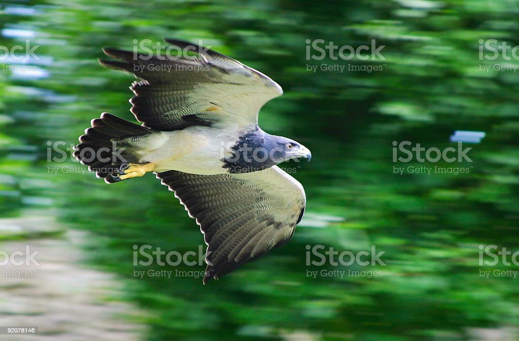 Eagle - foto de acervo