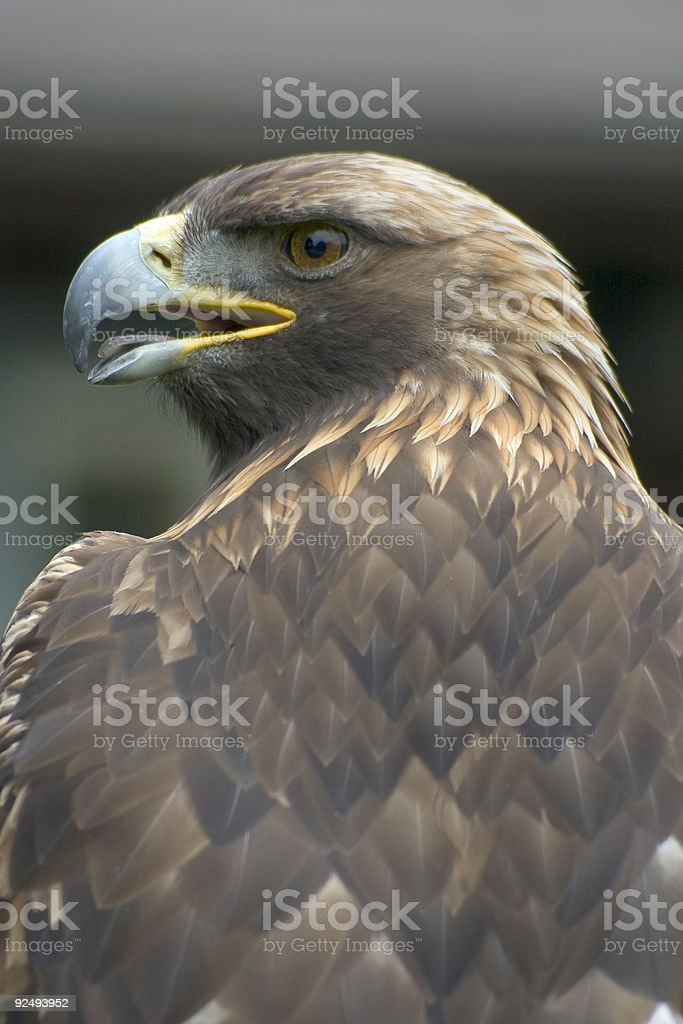 Eagle royalty-free stock photo