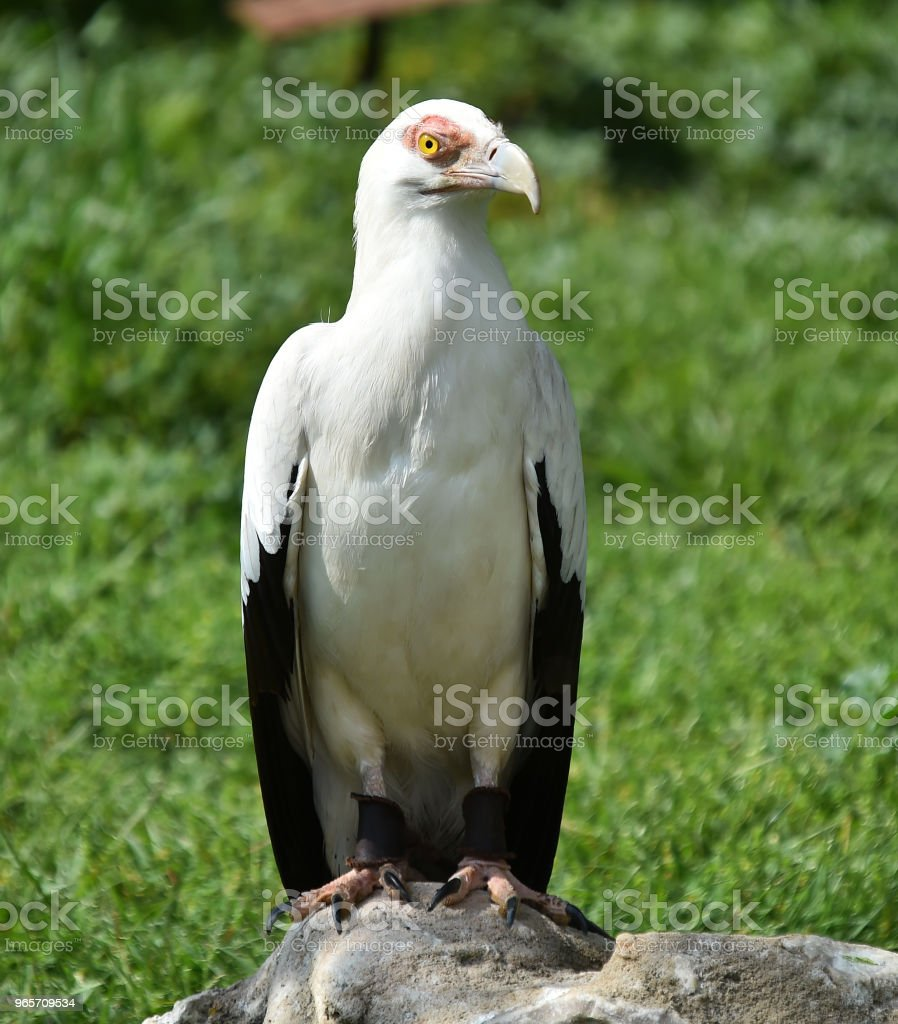 Eagle - Royalty-free Animal Stock Photo