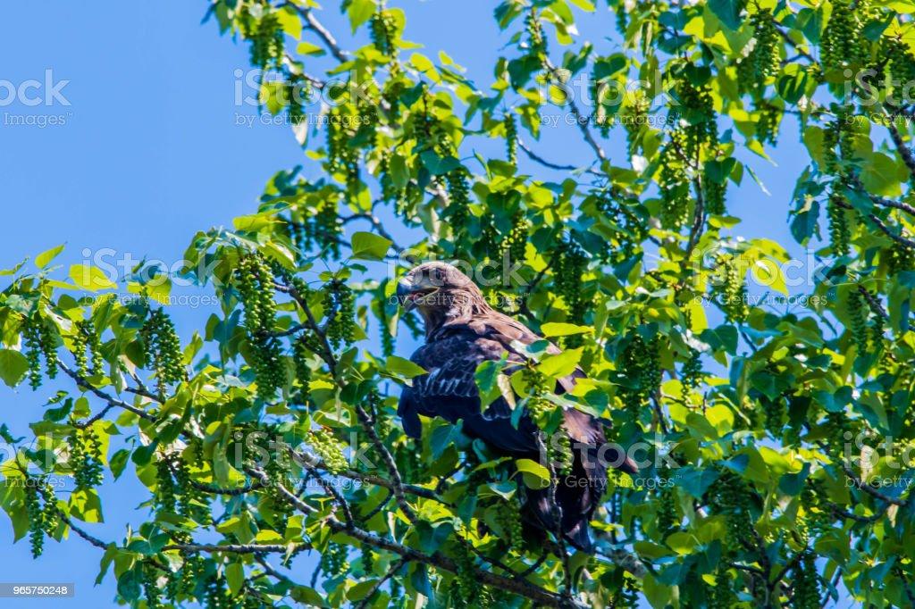 Eagle - Royalty-free Animal Wildlife Stock Photo