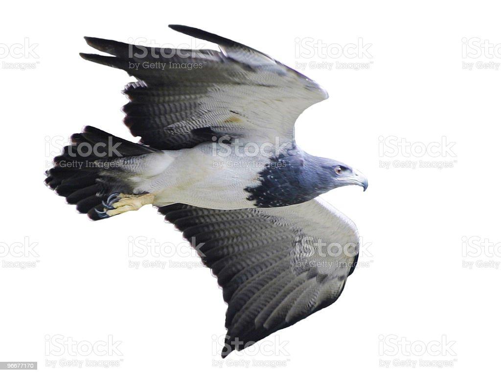 Eagle (isolado - foto de acervo