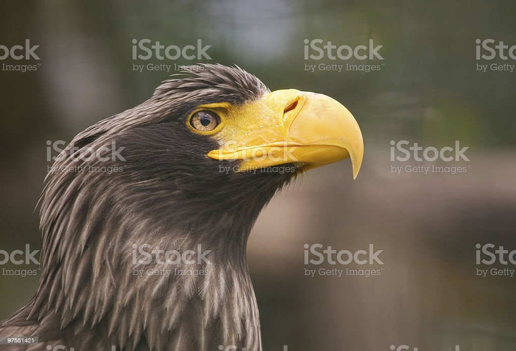 Eagle photo libre de droits
