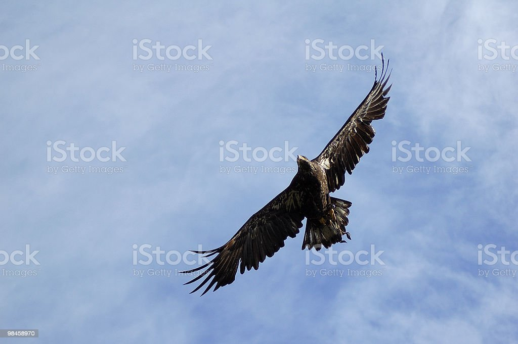 Eagle royalty-free 스톡 사진