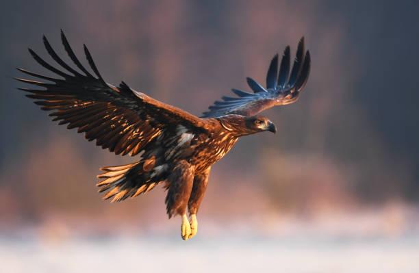 eagle  - 육식조 뉴스 사진 이미지