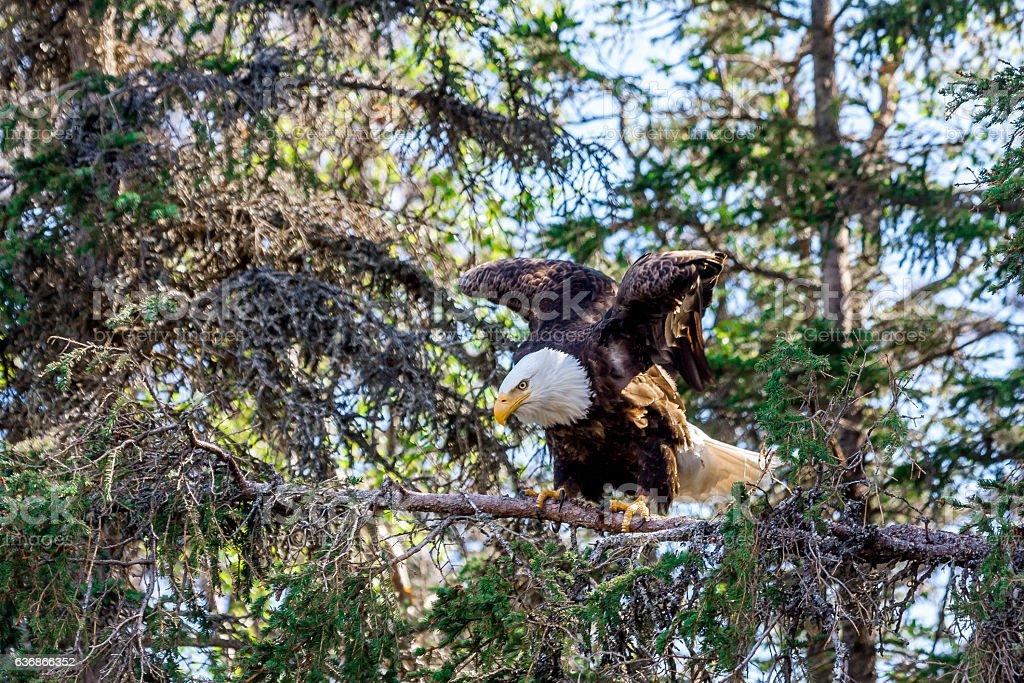 Eagle Pre-Flight stock photo