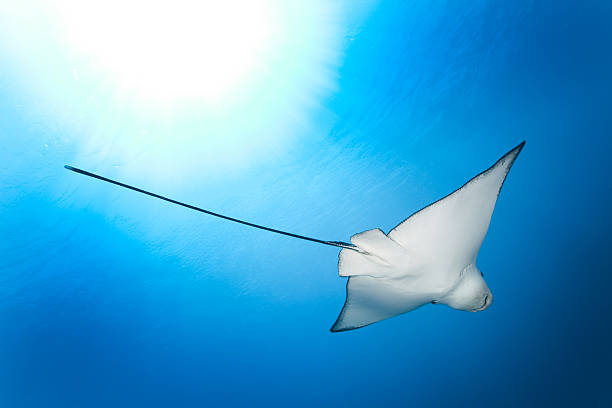 Eagle Ray in the Light, Komodo National Park, Indonesia  indo pacific ocean stock pictures, royalty-free photos & images