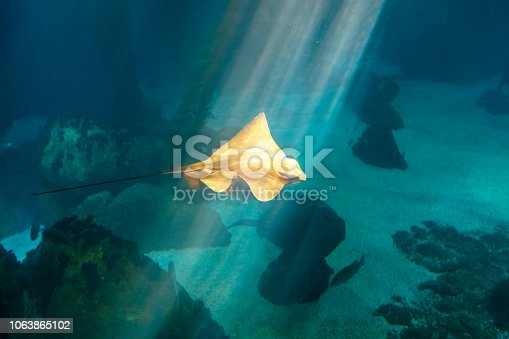 istock Eagle Ray underwater 1063865102