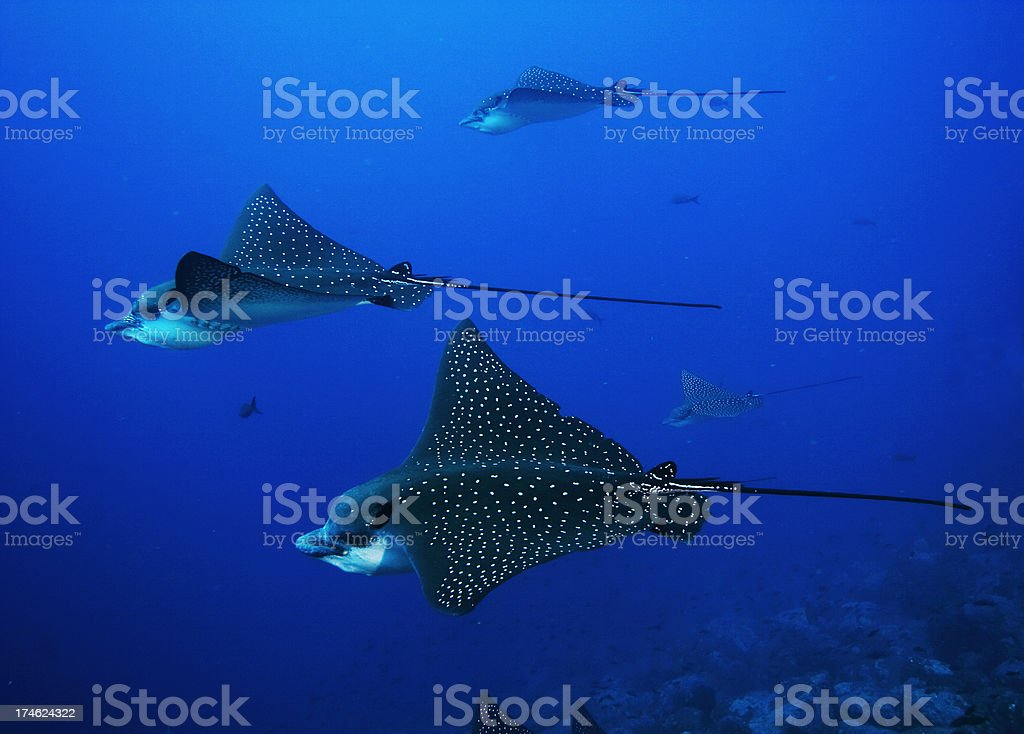 Eagle Rays royalty-free stock photo