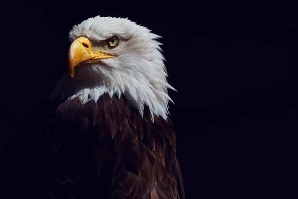 eagle plan - aigle photos et images de collection