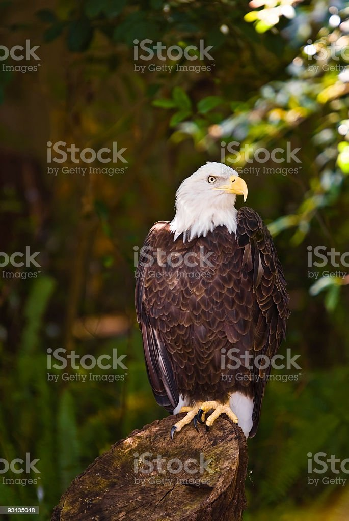 Eagle sitting on a stump in the shade stock photo