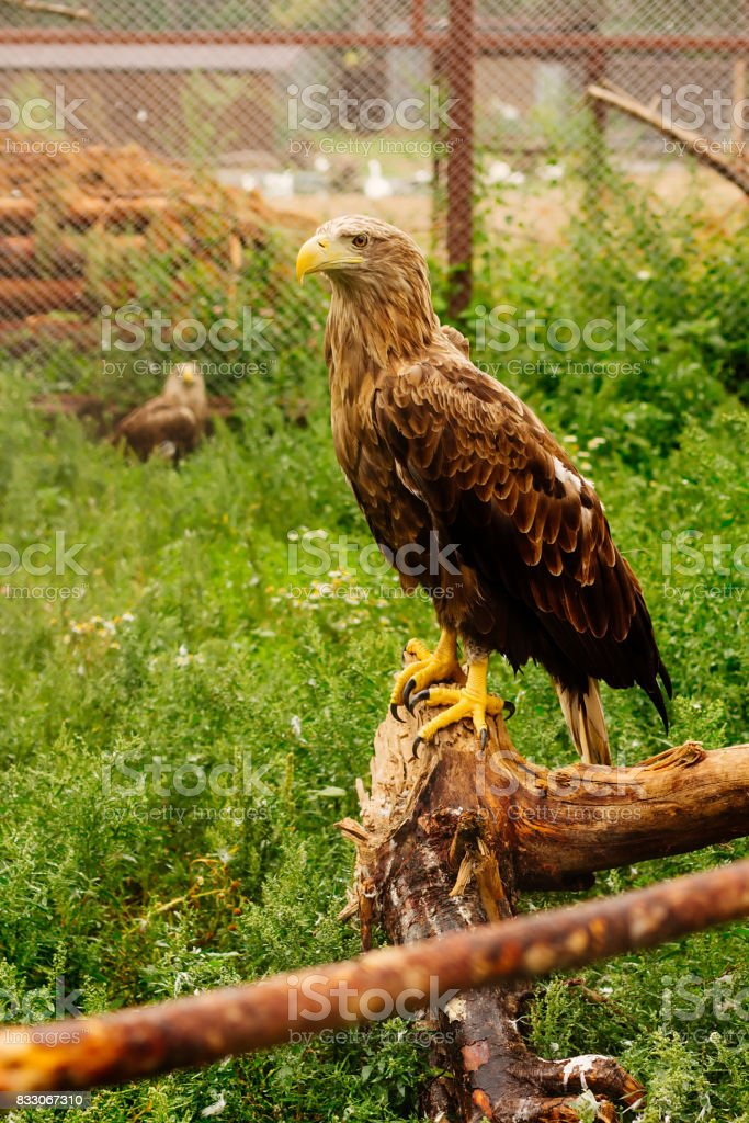 Eagle sitting on the piece of tree stock photo