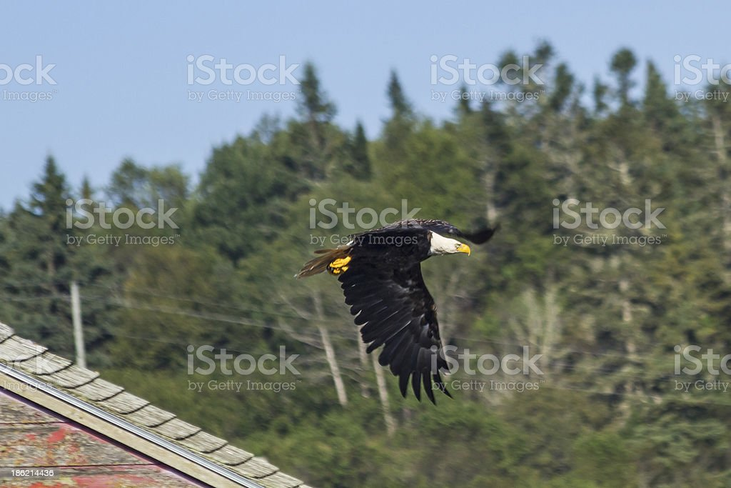 Eagle SKimming Rooftop stock photo