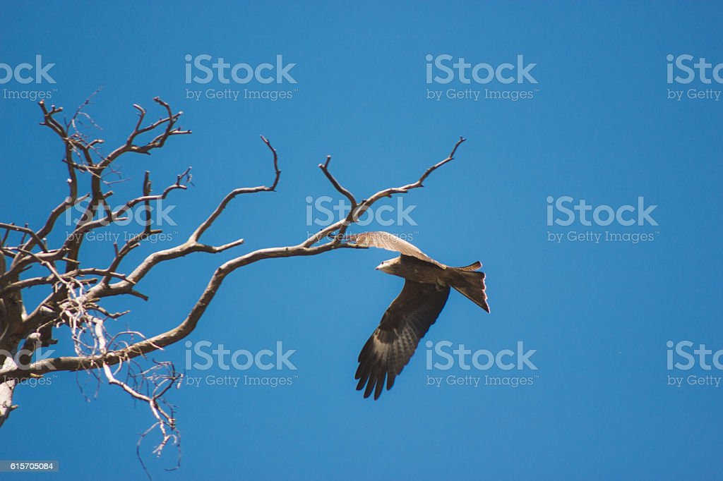 Eagle soaring and looking down with a blue sky stock photo