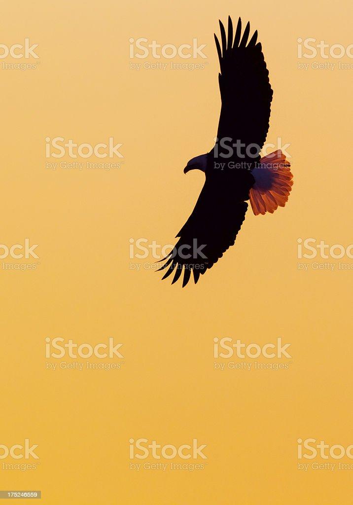 Eagle Soaring and Sunset Sky stock photo