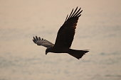 Eagle soaring high above the waters of South India