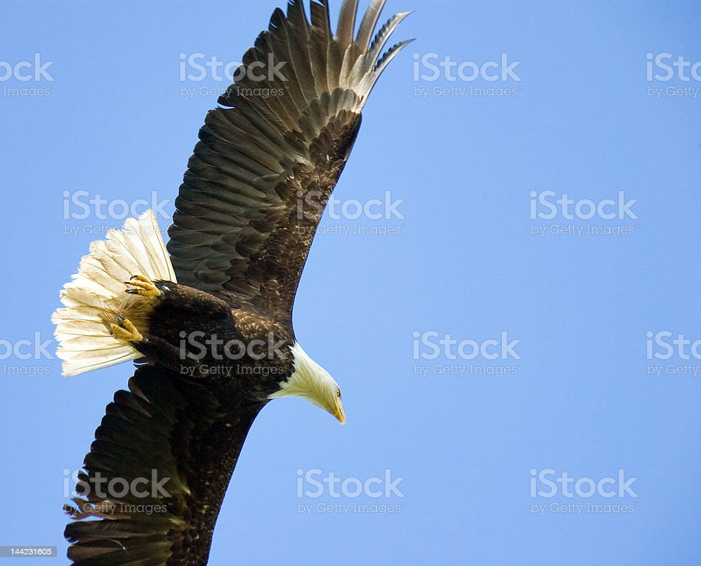 Eagle Soaring royalty-free stock photo