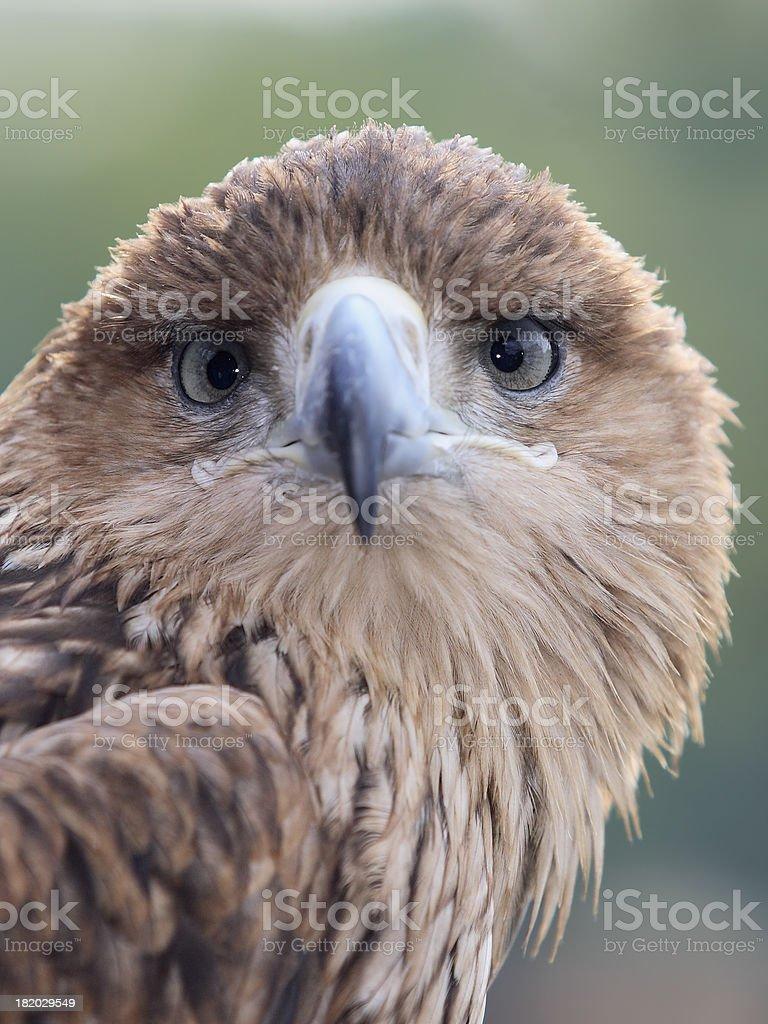 Eagle Staring Towards You stock photo