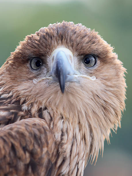 Eagle Staring Towards You stock photo