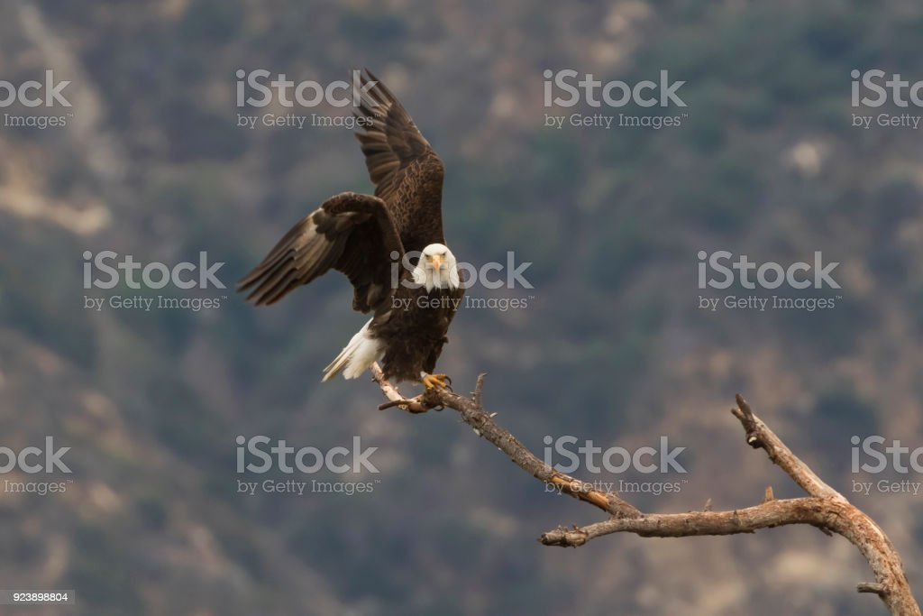 Eagle take-off from tree limb perch stock photo
