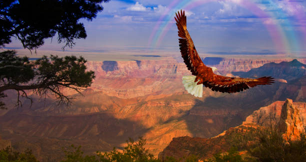 eagle takes flight over grand canyon usa - native american reservation stock photos and pictures