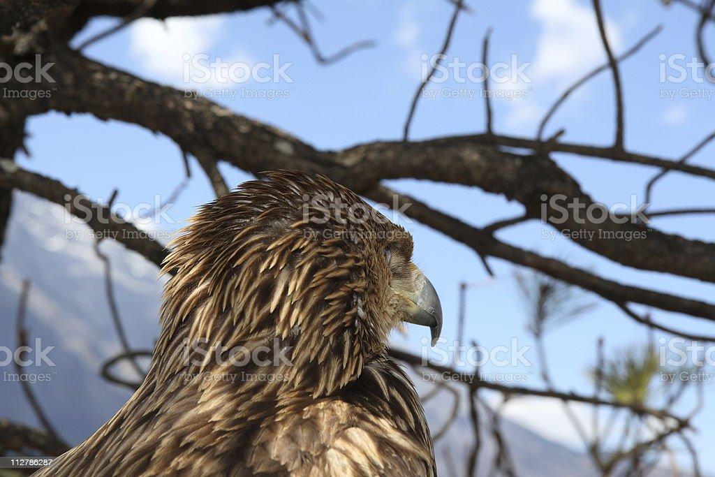 Eagle watching prey (series) royalty-free stock photo