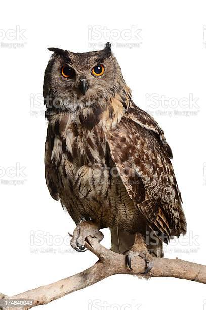Eagleowl picture id174840043?b=1&k=6&m=174840043&s=612x612&h=m1x1zmpu  7ygeljqik9 pzhyjc 3y91bbyscnshd7y=