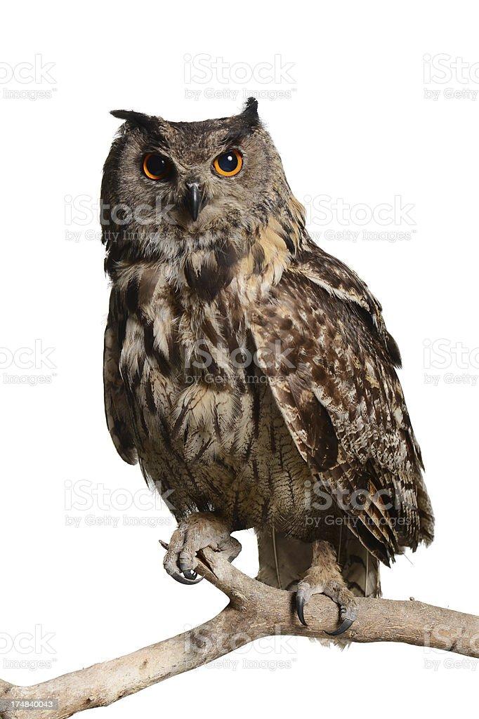Eagle-Owl stock photo