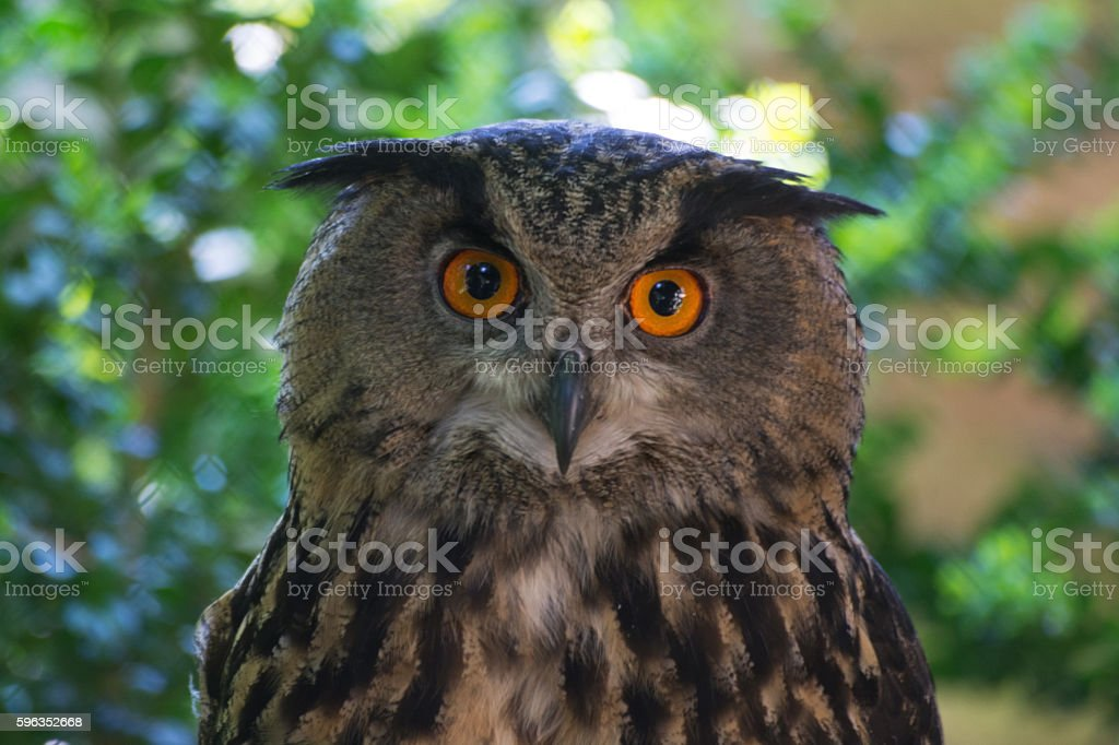 Eagle-Owl (Bubo Bubo) royalty-free stock photo