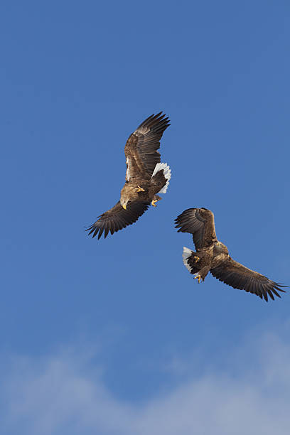 Eagles Fighting In Mid Air stock photo