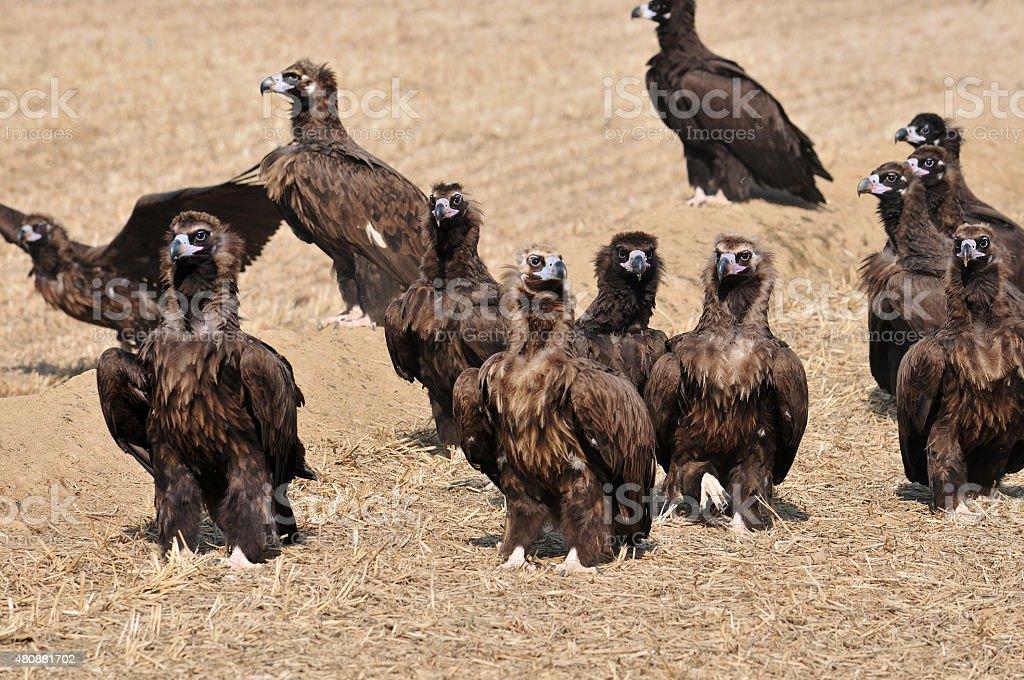 Bando de águias - foto de acervo