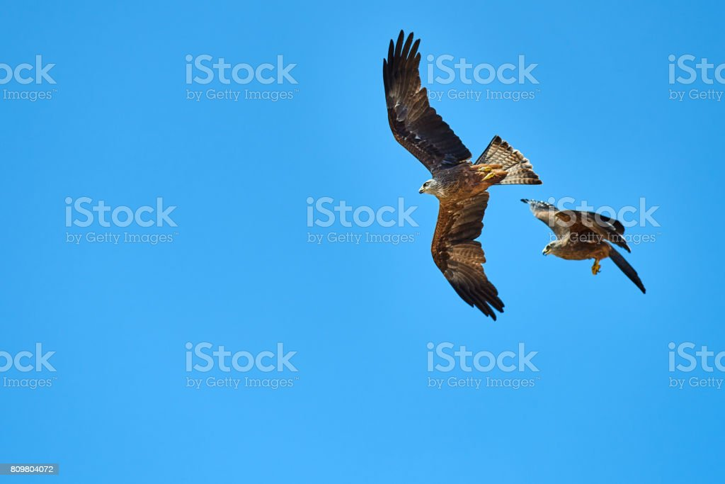 low angle view of two eagles flying over the sky in summer day.