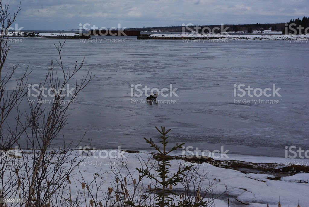 eagles on ice. royalty-free stock photo