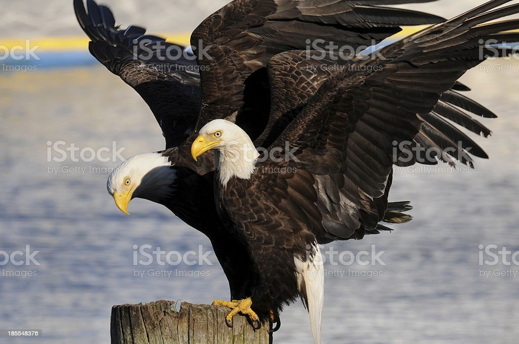 Eagles stock photo