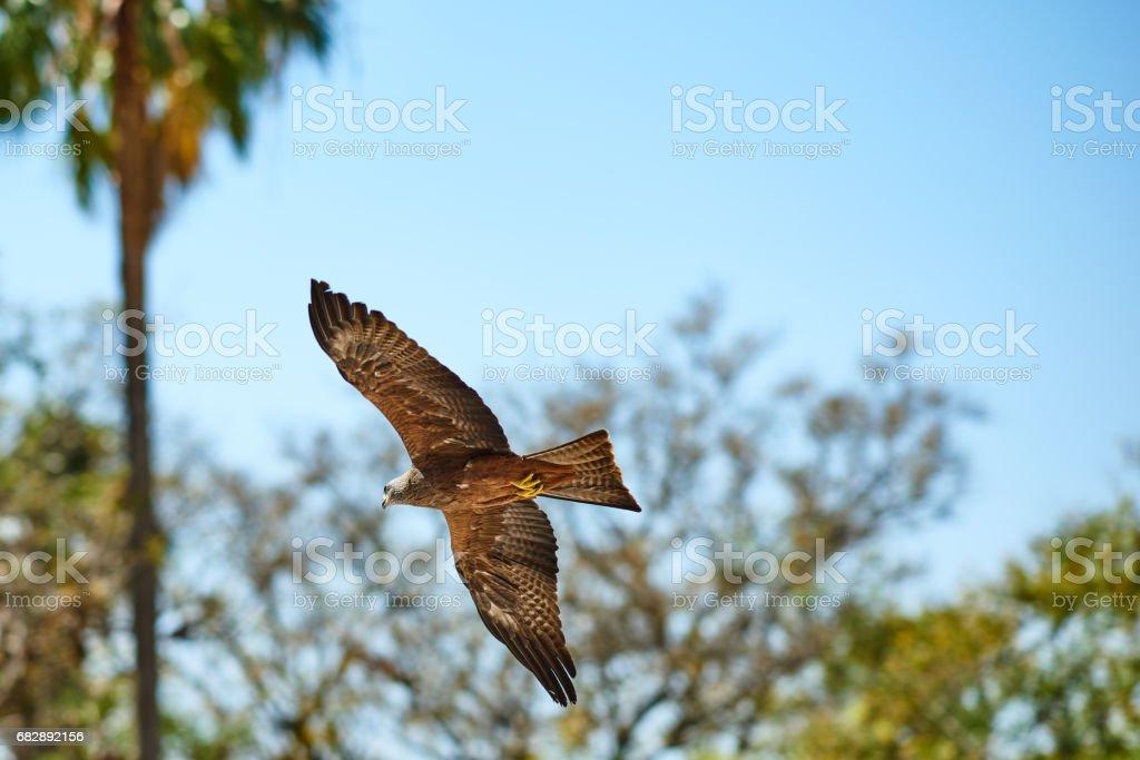 Eaglet, die über den Himmel fliegen Lizenzfreies stock-foto