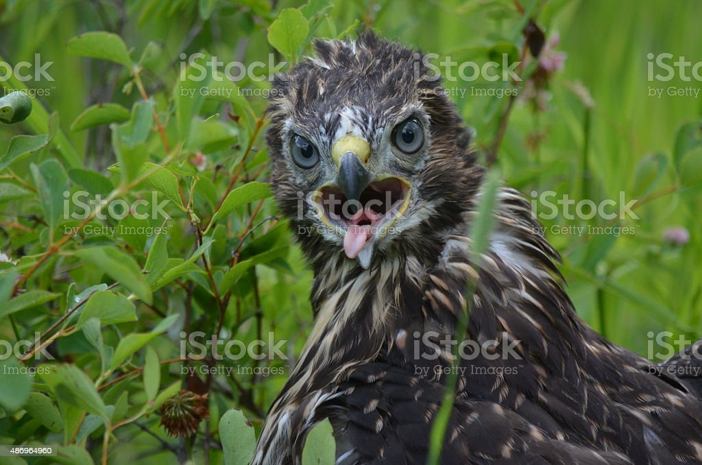 eaglet looking at you stock photo